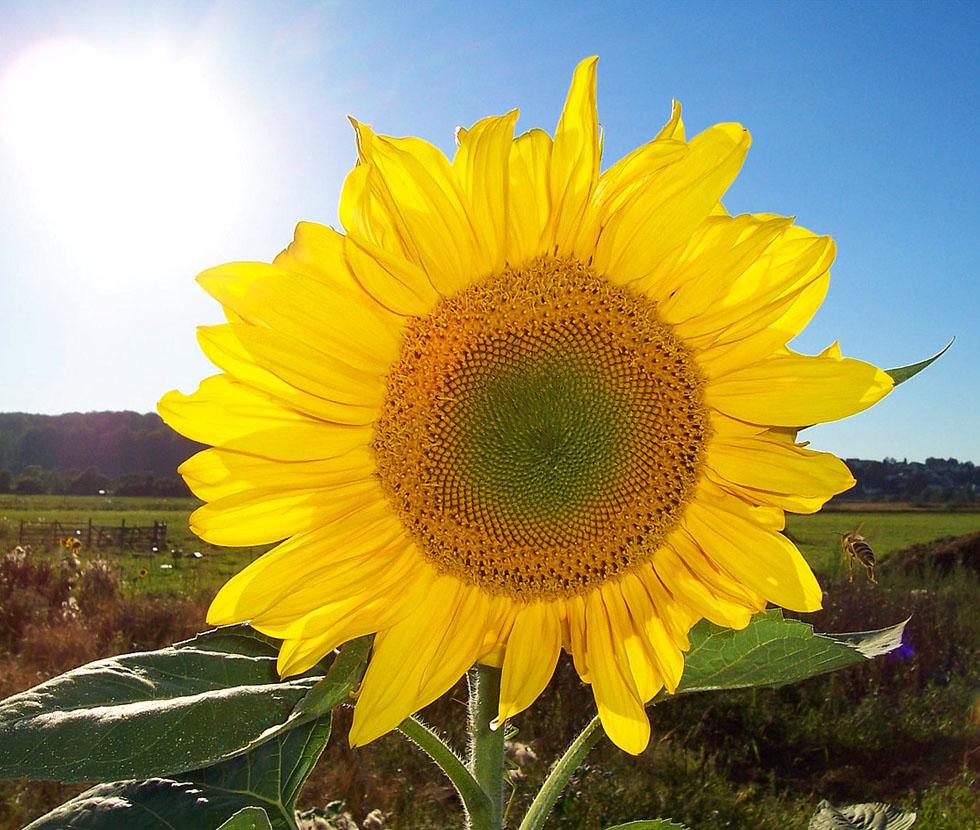 Sonnenblumenfeld BGVN