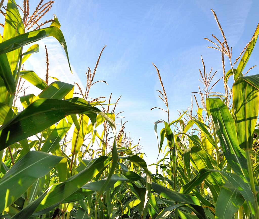 Energiepflanze Mais