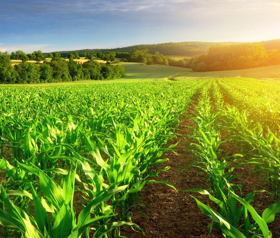 Biogasvertrieb Nord AN GmbH & Co KG: Mais von aga-saat ist die Bio-Energiepflanze